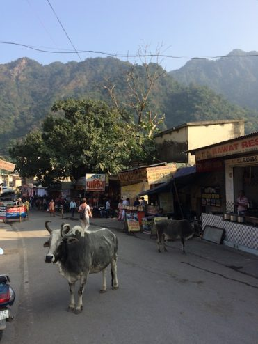 King of the road: cows take priority here in India