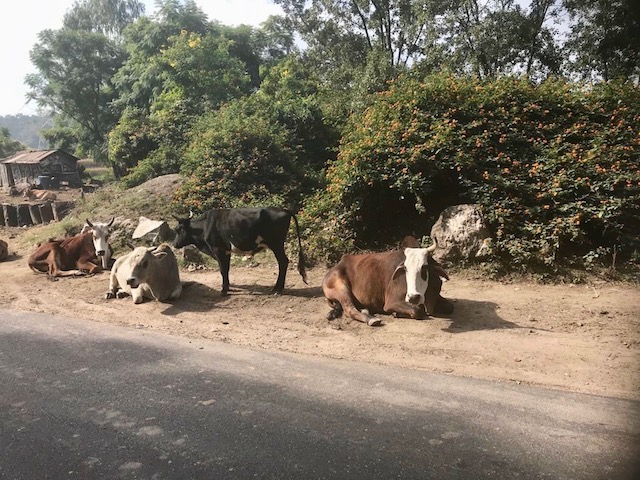Just chillin; cows are free to roam in all India